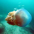 Jelly Fish by springs