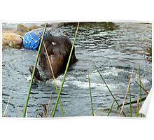 Elephant  in water Taronga Zoo Poster