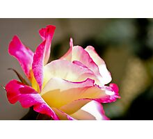 Beautiful yellow rose with pink splashes of colour Photographic Print