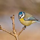 Blue tit by M.S. Photography & Art