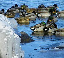 ICE SWIM by Diane Trummer Sullivan