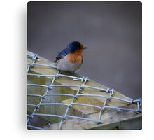 Sweet Swallow Canvas Print