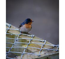 Sweet Swallow Photographic Print