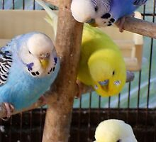 budgies gallore by carolhynes