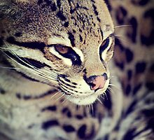 Ocelot by photografever