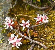Plant, English Stonecrop, Sedum anglicum, Flowers by Hugh McKean