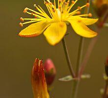 Plant, St Johns Wort, Hypericum perforatum, Flowers.  by Hugh McKean