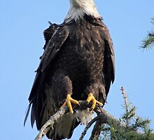 Bald Eagle  by Pierre Leclerc