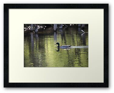 Duck Water Scene by Thomas Murphy