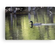 Duck Water Scene Metal Print