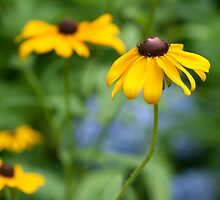 Black eyed Susan  by KSKphotography