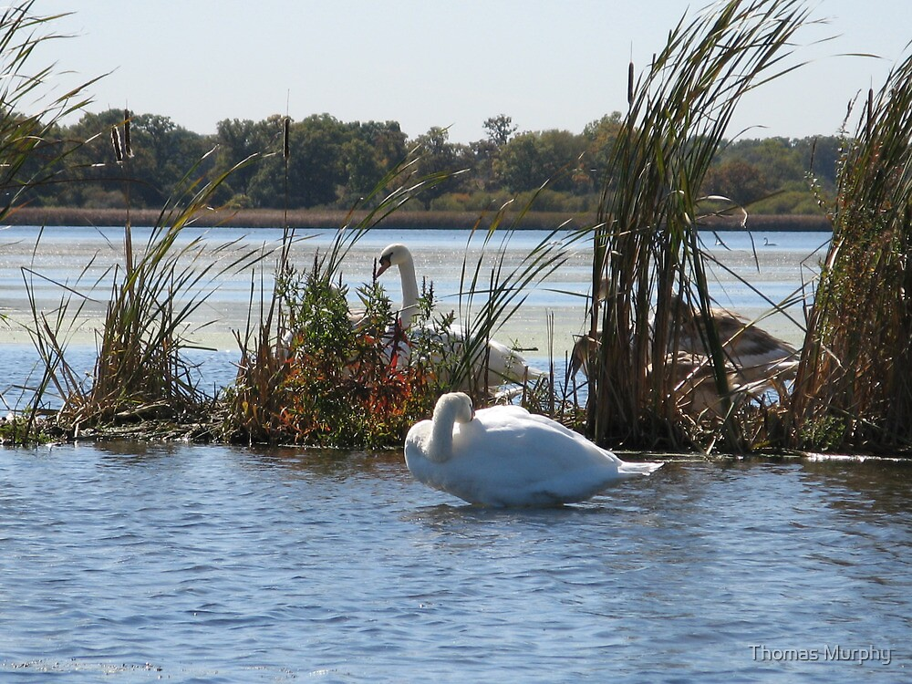 Trumpeter Swans by Thomas Murphy