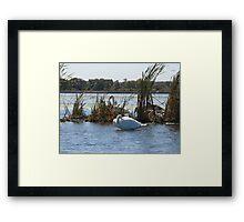 Trumpeter Swans Framed Print