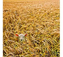 lost lamb with barley Photographic Print