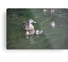 Duck with Ducklings Metal Print