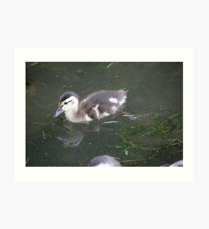 Ducklings on Lake Monona Art Print