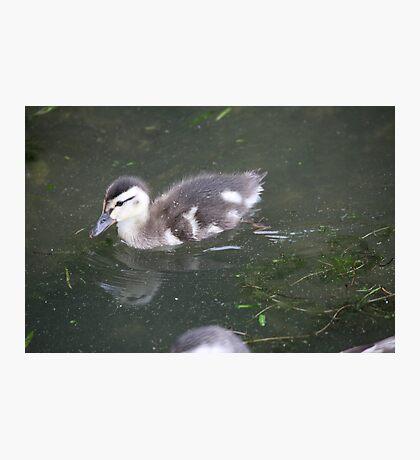 Ducklings on Lake Monona Photographic Print