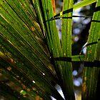 Nikau Palm by joche