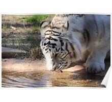 Bengal Tiger Drink Poster