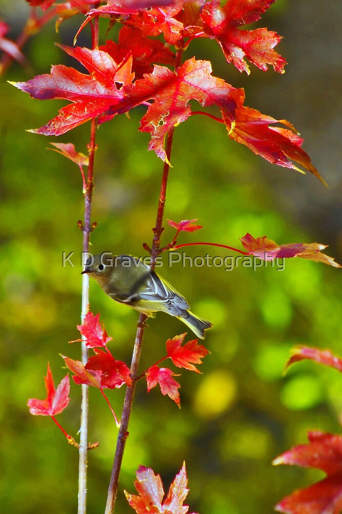 Blue-Headed Vireo In The Autumn Blaze Maple Tree by K D Graves Photography