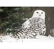 Snow Owl for Roy Photographic Print