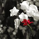 Bleeding Heart Vine by BreeDanielle