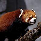 Red Panda by Pam Hogg