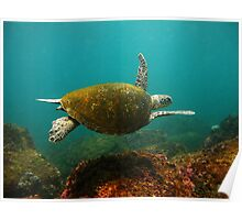 Cook Island Turtle Poster
