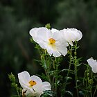 Prickly Poppy by Vicki Pelham