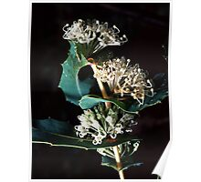 White Hakea Prostrata Proteaceae gum buds flowers and leaves Nannup – Pemberton  19820528 0010 Poster