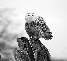 Snowy owl, Boundary bay by Pierre Leclerc