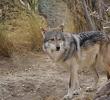 Mexican Gray Wolf by Lynn Starner