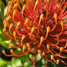 Waratah Flower by Geoffrey Higges