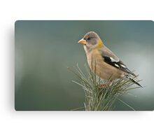 Evening Grosbeak On Pine 3 Canvas Print