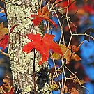 Red Maple Leaves in Autumn by Lisa G. Putman