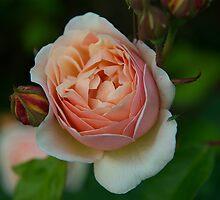 Rose by Pete  Burton