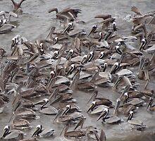 Crazy Times For Crazy Pelicans I - Tiempos Locos Con Pelicanos Locos by Bernhard Matejka
