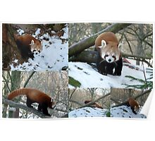 Red Panda in Snowy Sweden Poster