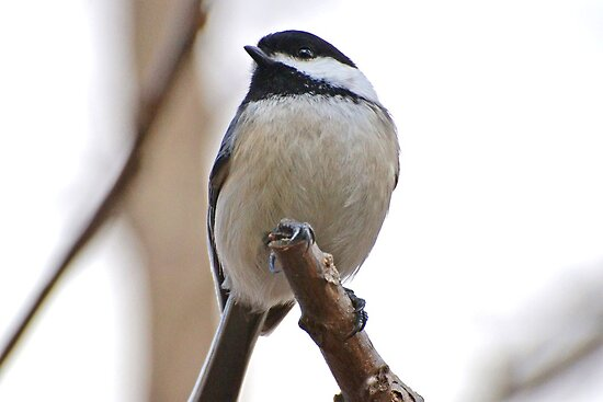 Chickadee0 by William Brennan