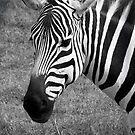 Zebra by tracyleephoto