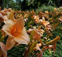 Lillies by Pete  Burton