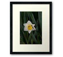 Daffodil Tears Framed Print