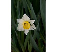 Daffodil Tears Photographic Print