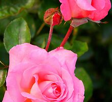 Two Roses in Pink by Laurel Talabere
