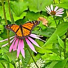 Monarch butterfly 2 by Carolyn Clark