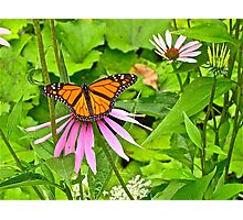Monarch butterfly 2 Photographic Print