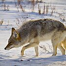 Coyote Hunting on Snow by cavaroc
