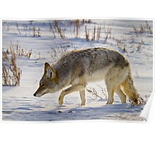 Coyote Hunting on Snow Poster