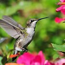 Ruby Throated Hummingbird & Pink Flowers by Kathy Baccari
