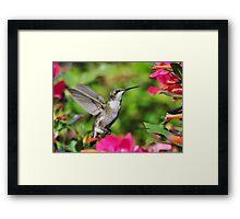 Ruby Throated Hummingbird & Pink Flowers Framed Print
